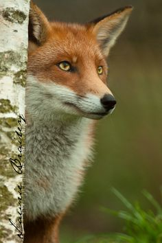 Red Fox by Lawrie Brailey