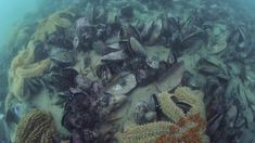Mussels and ecosystem services - VIDEO. This video is a brief introduction to the restoration of mussel reefs in the Hauraki Gulf. Mussels, Auckland, Marine Life, Restoration, Science, Awesome, Clams, Blue Mussel