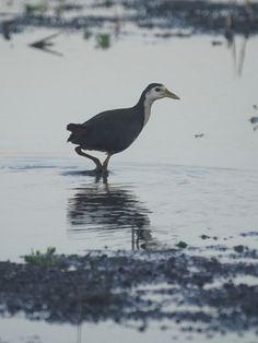 白腹秧雞 White-breasted Waterhen 鶴形目 秧雞科 Amaurornis phoenicurus  白胸苦惡鳥