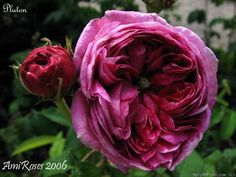 'Rose Pmuton', 1843