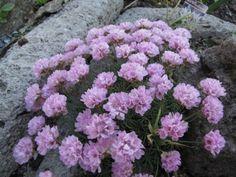 Armeria juniperifolia Rock Garden Plants, Alpine Plants, Most Beautiful Flowers, Drought Tolerant, Arctic, Magenta, Orchids, Landscaping, Palette