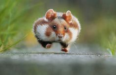 Images From the 2016 Sony World Photography Awards - The Atlantic Rush Hour. In late summer the European hamster gets ready for hibernation. He fills up his pouches with grains, roots, plants or insects and transports them into his food chamber (that's why he is running).