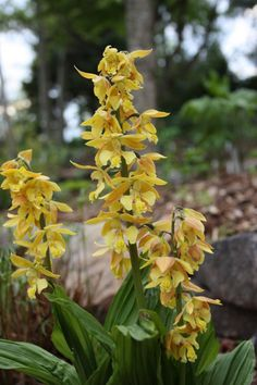 Takane Hardy Terrestrial Orchid for sale buy Calanthe Takane Hybrids