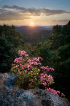 Sunset from Ricketts Mountain and the last wild azalea of the season, Arkansas Photographer: Copyright by Tim Ernst