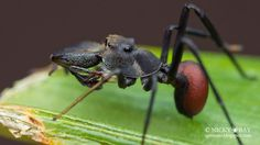 Ant-Mimic Jumping Spider - It's appearance and behavior mimics an ant perfectly. Despite being a jumping spider, it jumps only when necessary, and spends more time running about like an ant. (Courtesy Nicky Bay)