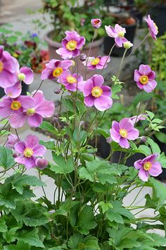 Anemone Bowles Purple Back Gardens, Outdoor Spaces, Purple, Plants, Outdoor Living Spaces, Plant, Outdoor Rooms, Viola, Planets