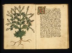 Details of the properties of verbena or vervain, from a 16th-century book about herbs. When placed in a patient's hand the presence of the herb would, it was thought, cause them to speak his or her fate truthfully, offering the physician an accurate prognosis. © The Art Archive / Alamy