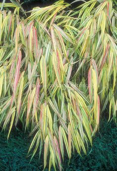 Love the pink touch! Shade Grass, Fountain Grass, Deer Resistant Plants, Variegated Plants, Plant Images, Ornamental Grasses, Types Of Plants, Back Gardens, Shrubs