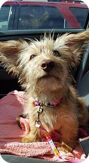 Pictures of Sophie a Yorkie, Yorkshire Terrier/Dachshund Mix for adoption in Valley Park, MO who needs a loving home.