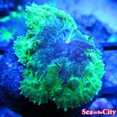 Purple People Eater Blastomussa Coral