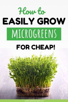 Growing microgreens offers a ton of benefits. They are super nutritious and easy to DIY Wellness Tips, Health And Wellness, Farming, Growing Microgreens, Little Plants, Types Of Plants, Gardening Tips, Indoor Gardening, Organic Gardening