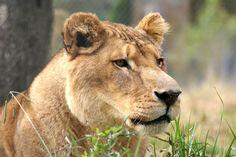 Tarzan Lion | Carolina Tiger Rescue