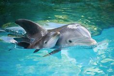 Mother Dolphin and her newborn.              So precious!