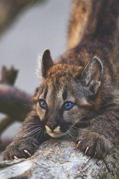 A cougar cub with the most fascinating blue eyes... And his name is Marlon!
