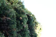 Cyprès aux airs de Noël
