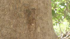 Цикады певчие (Cicadidae) крупные насекомые, живут в теплых странах. Отличаются характерным звуком, стрекочут только самцы и, в основном, днем. Питаются соком растений.