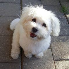 #maltese #maltese101 #malteseofinstagram #malteseofficial #maltesedog #maltesepuppy #smalldog #smalldogs #dog #dogs #puppy #pupsofinstagram #puppiesofinstagram #dogsofinstaworld #instapuppy #instagramdogs #instagrampuppies #instadog #cute #pup #puppy_tales #dogs_of_world #dogstagram #puppygram #pupstagram #whitedog #fluffy #malteseworld_feature #ava  Photo By: avathefluffpup  http://bit.ly/teacupdogshq