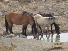 Wild Horses of Fernley NV.