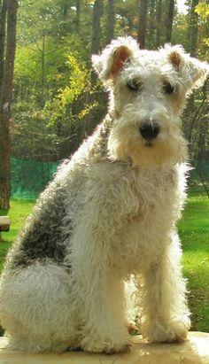 Wire Haired Terrier, Wire Fox Terrier, Fox Terriers, Wirehaired Fox Terrier, Lakeland Terrier, Dogs And Puppies, Doggies, Dog Best Friend, Animals And Pets