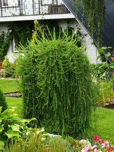 Larix decidua 'Pendula'-want this for my garden