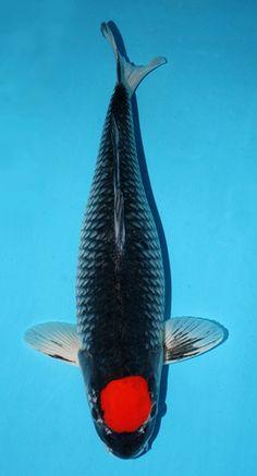 00005-tancho-goshiki-koi-fish-01.jpg 270×500 piksel