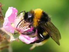 bees and flowers pictures   animal, insects, flower-bee, pictures, photos, photo