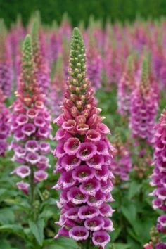 Foxgloves - These grow wild everywhere in the Pac. NW, but are also great in the garden. Biennial.