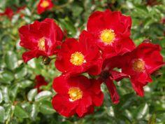 Low care roses – Ramblin' through Dave's Garden Rose Plant Care, Drift Roses, Online Plant Nursery, Best Roses, Rose Online, Plants Delivered, Rose Varieties, Shrub Roses, Flowers