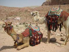 Camels in Petra, Jordan.