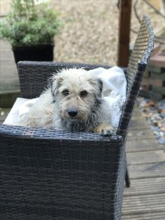 Bedlington Whippet, Whippets, Plastic Laundry Basket, Wicker, Dogs, Animals, Beautiful, Animales, Animaux