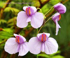 Utricularia reniformis Strange Flowers, Unusual Flowers, Wonderful Flowers, Unusual Plants, Rare Flowers, Rare Plants, Clay Flowers, Exotic Plants, Cool Plants