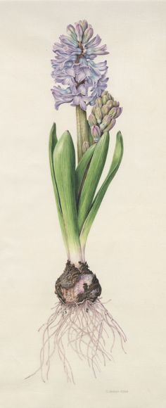 "17th Annual Backstory - Denise Walser-Kolar | American Society of Botanical Artists  Hyacinthus orientalis Watercolor on Vellum 17"" x 7"""