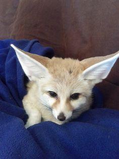 baby fennec fox!