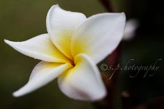 Nicaragua's national flower, the sacuanjoche. i don't count as a nica but it's be fun to have one