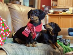 Jealous of his scarf.. http://www.celebritydachshund.com/2013/12/30/chef-crusoe-christmas-dinner-opening-presents/