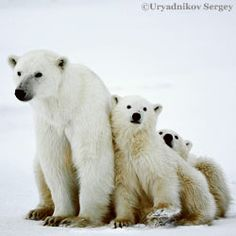 Polar bears are struggling to find enough food after record ice melt.