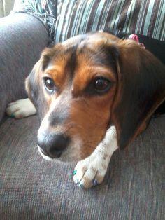 Ivy my beagle