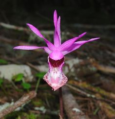 Rare and endangered Calypso bulbosa - Fairy Orchid, by brcotte2007, via Flickr