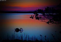 Swan, joutsen