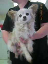 Butters is an adoptable Chihuahua Dog in Prince Frederick, MD. A long haired cream and white Chihuahua, all he wants to do is to be held. Butters is eight years old, about half way thru the life of a ...