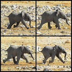 Elefantes no pueden levantar las cuatro patas al mismo tiempo. No pueden correr ni saltar