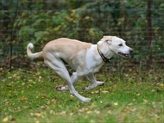 CRETAN GREYHOUND/CRETAN HOUND