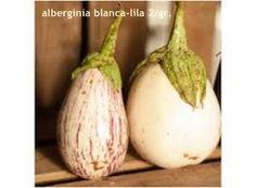 Alberginía blanca-lila 2/gr.