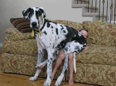 10 Pictures Only Great Dane Owners Will Think Are Funny