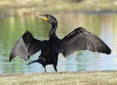 The gangly Double-crested Cormorant is a prehistoric-looking, matte-black fishing bird with yellow-orange facial skin. Though they look like a combination of a goose and a loon, they are relatives of frigatebirds and boobies and are a common sight around fresh and salt water across North America