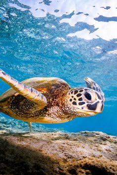 lsleofskye:  Sea Turtle flying underwater in Kona Hi