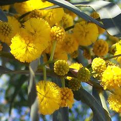 Flores y árboles: Mimosa (Acacia dealbata) Mimosas, Le Mimosa, Belleza Natural, Botanical Illustration, Natural World, Yellow Flowers, Cassie, Trees To Plant, Colors