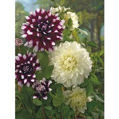Lowe's Home Improvement Outdoor, Plants, Dahlia, Bloom, Bulb, Patio Furniture, Garden