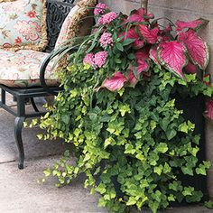 A lovely combination of foliage plants (ivy and caladium) and flowering (pentas) for the shade. The mix of forms and textures creates an effortless design for containers of all types. Foliage Plants, All Plants, Potted Plants, House Plants, Pink Leaves, Pink Flowers, Gardening For Beginners, Gardening Tips, Easy Care Plants