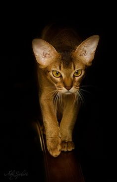 abyssinian cat, night hunter